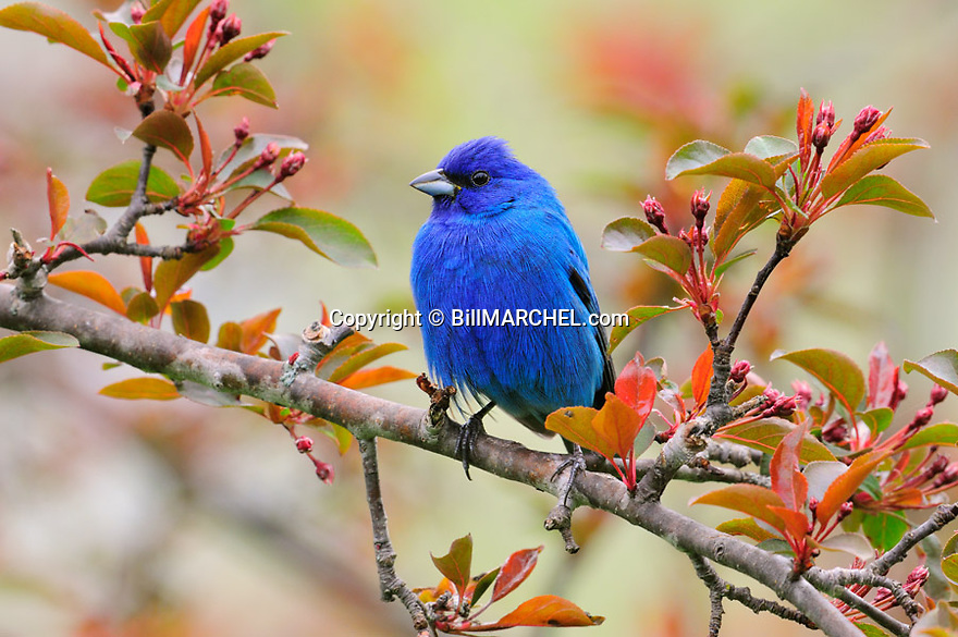 00120-005.11 Indigo Bunting male is perched in red splendor crab apple tree about to bloom.  Backyard, habitat, blue, landscape.