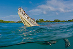 American Crocodile, Crocodylus acutus, Cuba Underwater, Jardines de la Reina, marine reptiles, Protected Marine park underwater