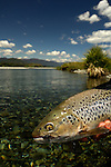 Brown Trout and fly
