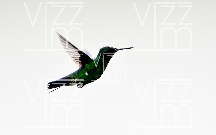 CALI – COLOMBIA - 25-11-2016: Colibri, especie de ave presente en el norte de Cali. / Colibri, bird species present in north of Cali Photo: VizzorImage / Luis Ramirez / Staff.