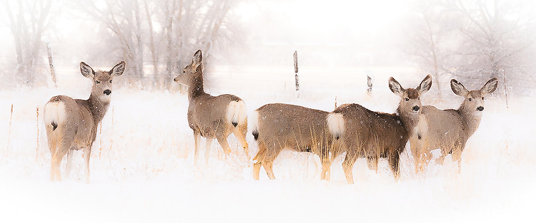 Mule deer pause before continuing their feeding in Paradise Valley MT.