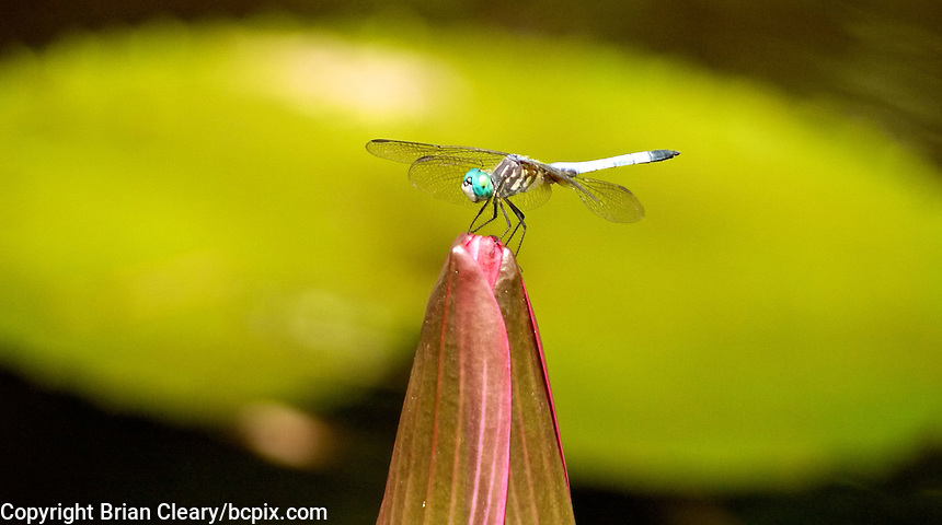 A dragonfly perches on a water lily bloom in Holly Hill, FL, August 10, 2011.    (Photo by Brian Cleary/www.bcpix.com)