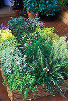 Raised bed herb garden: wicker raised bed on patio of brick, Rosemary, chives, variegated mints, oregano, thyme, mixture of different types of herb plants together