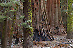 Giant Sequoia (Sequoiadendron giganteum) trees in forest, Sierra Nevada, Sequoia National Park, California