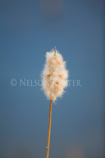 Cattail seed heads opening.