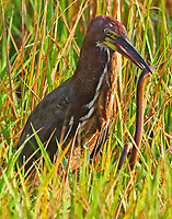 Adult rufescent tiger-heron with eel