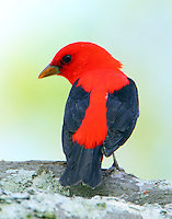 Adult male scarlet tanager