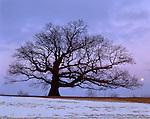 Putnam County, IL      <br /> Illinois' champion White Oak (Quercus alba) with winter moonrise