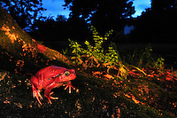 Tomato Frog (Dyscophus antongilii),adult, Maroantsetra, Northeastern Madagascar