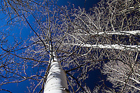 Adjacent Aspen trees, bare of their leaves, reveal an intricate lace-like tangle of intertwining branches against a deep blue high-altitude sky.  Sunrise Campground near Bear Lake, Utah.