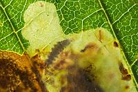 Kastanienminiermotte, Kastanien-Miniermotte, Rosskastanienminiermotte, Rosskastanien-Miniermotte, Miniermotte, Miniermotten, Larve, Raupe frisst in Kastanienblatt, Minierer, Fraßspuren auf einem Blatt, Blattkrankheit, Balkan-Miniermotte, Cameraria ohridella, Cameraria ochridella, horse chestnut leafminer, horse chestnut leaf-miner, horse-chestnut leaf miner, mineuse, teigne minière du marronnier