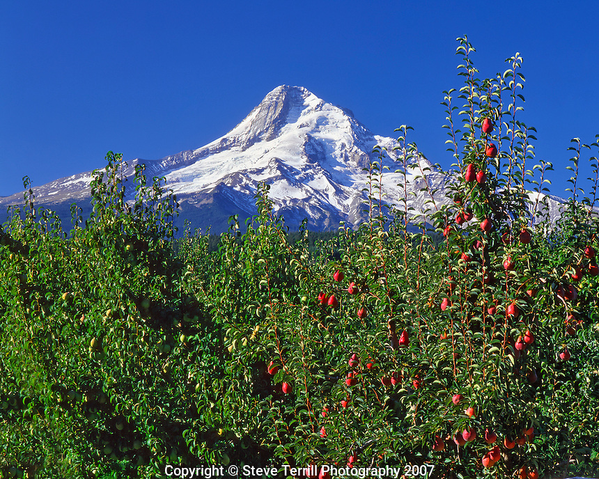 Red bartlett pears framing Mt Hood in Hood River Valley Oregon