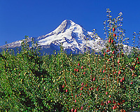 Red bartlett pears framing Mt Hood in Hood River Valley Oregon