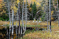 Snag trees stand in a small pond, Vermont, VT