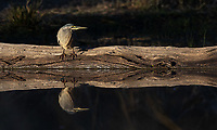 This small heron was seen from the Lake Panic Hide in Kruger.