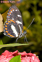 0101-0902  Tropical Butterfly, Superfamily: Papilionoidea © David Kuhn/Dwight Kuhn Photography