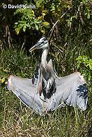 0829-0912  Great Blue Heron, Promoting Temperature Regulation with Wings, Ardea herodias © David Kuhn/Dwight Kuhn Photography
