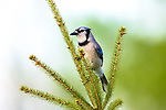 Blue jay perched in a spruce tree.