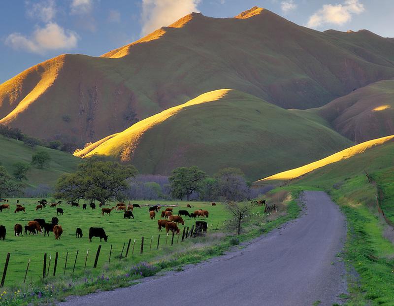 Road, cows and hillside. Near Williams, California