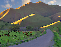 Road, cows and hillside. Near Williams, California