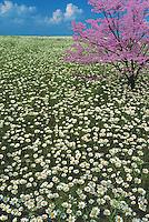 Meadow of wild oxeye daisies with pink dogwood (Cornus florida) in full bloom MIssouri USA