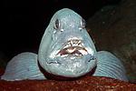 Atlantic Wolf Fish, close-up face and teeth