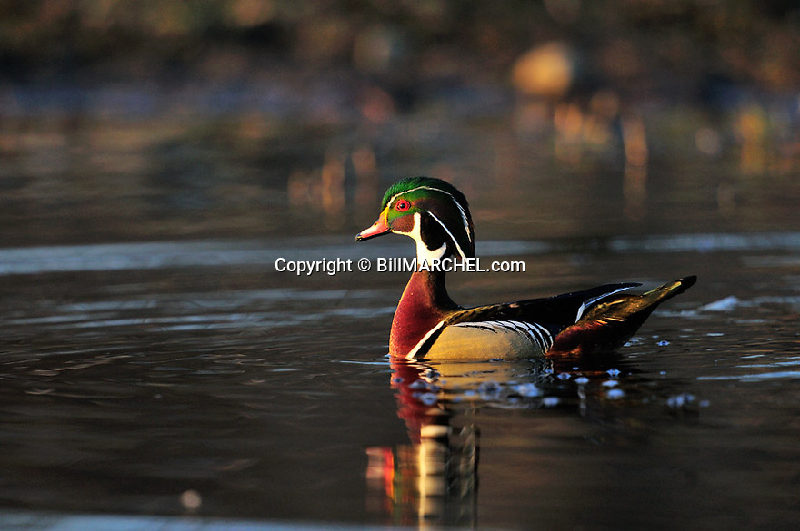 00360-104.07 Wood Duck drake is on the water of marsh.  Hunt, wetland, waterfowl.