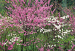 Redbud and Dogwood trees in Bloom, Gettysburg National Military Park, Pennsylvania, USA