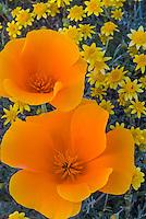 California Poppy (Eschsholtzia californica)  and Goldfields (Lasthenia californica)  in Antelope Valley California.