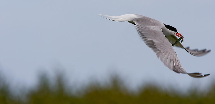 An arctic tern returning to feed its young