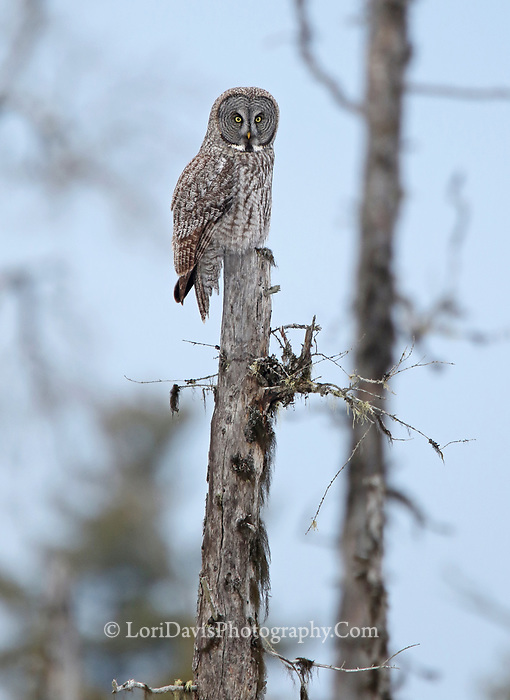 Great gray owl perched atop dead tree