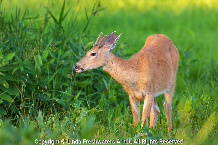 Young white-tailed buck browsing in a northern Wisconsin field.