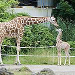 DEU, Deutschland, NRW, Nordrhein Westfalen, Rheinland, Ruhrgebiet, Niederrhein, Duisburg, Zoo, Giraffe, Giraffa camelopardalis reticulata, Männl. Jungtier geb. am 30.05.2008 im Zoo Duisburg......[Fuer die Nutzung gelten die jeweils gueltigen Allgemeinen Liefer-und Geschaeftsbedingungen. Nutzung nur gegen Verwendungsmeldung und Nachweis. Download der AGB unter http://www.image-box.com oder werden auf Anfrage zugesendet. Freigabe ist vorher erforderlich. Jede Nutzung des Fotos ist honorarpflichtig gemaess derzeit gueltiger MFM Liste - Kontakt, Uwe Schmid-Fotografie, Duisburg, Tel. (+49).2065.677997, ..archiv@image-box.com, www.image-box.com]