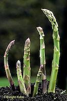 HS20-003c  Asparagus - new shoots, perennial - Mary Washington variety