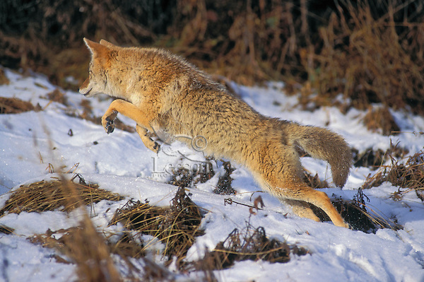COYOTE leaping through snow seeking mice..Winter. Rocky Mountains. (Canis latrans).