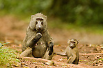 Olive Baboon (Papio anubis) young holding onto mother, Kibale National Park, western Uganda