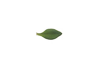 Thymian, Echter Thymian, Römischer Quendel, Kuttelkraut, Gartenthymian, Garten-Thymian, Thymus vulgaris, thyme, common thyme, garden thyme, Le Thym commun, le Thym cultivé, le Farigoule. Blatt, Blätter, leaf, leaves