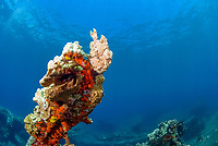 Commerson's frogfish sitting on top of a jetty pylon wrecked by a tsunami off Lahaina, Maui, Hawaii