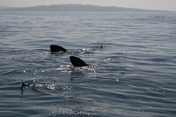 The first sightings of what are known as 'Liadhán chor gréine' or the 'Great Fish of the Sun' have been reported to the Irish Whale and Dolphin Group