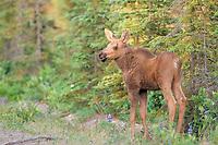 moose, Alces alces, newborn calf stands along a forest on the Kenai Peninsula, southcentral, Alaska, USA