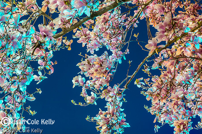 Magnolias with a traffic light, Boston, Massachusetts, USA