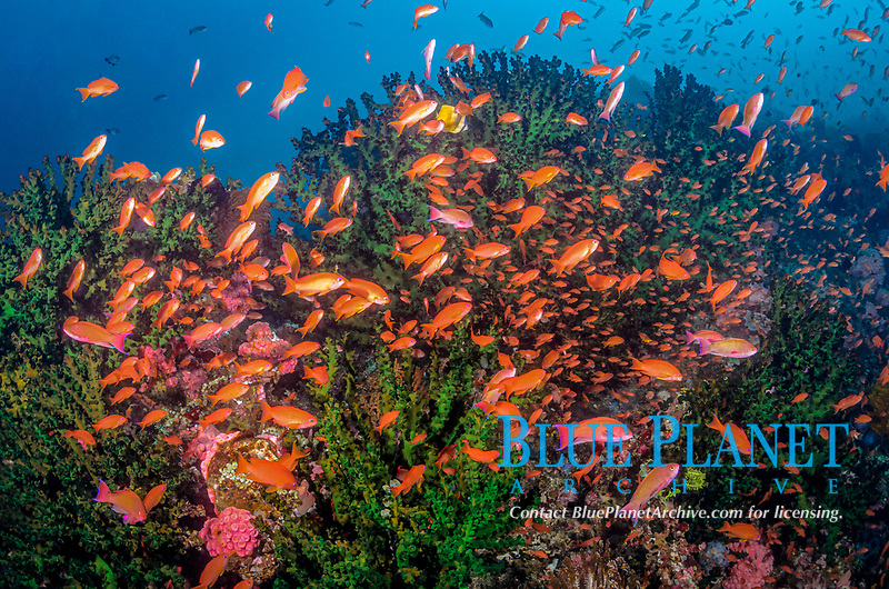 Reef scene with scalefin anthias, Pseudanthias squamipinnis, and green sun coral, Tubastraea micranthus, Anilao, Batangas, Philippines, Pacific Ocean