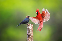 northern cardinal, Cardinalis cardinalis male and brown-headed cowbird, Molothrus ater, male fighting, Sinton, Corpus Christi, Texas, USA, North America