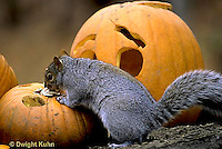 MA23-211z  Gray Squirrel - eating pumpkin seeds from  carved Halloween pumpkin  - Sciurus carolinensis