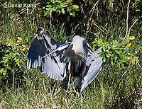 0829-0910  Great Blue Heron, Promoting Temperature Regulation with Wings, Ardea herodias © David Kuhn/Dwight Kuhn Photography