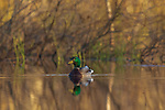 Drake mallard in northern Wisconsin.
