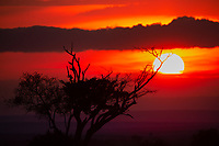 Dead savanna tree silhouettes during sunset, with the sun in the background in Masai Mara national park, Kenya Africa