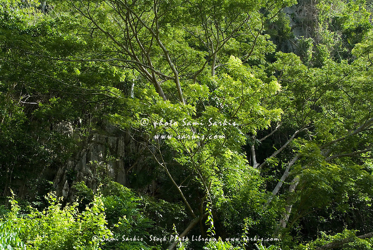 Tropical vegetation and trees in the Vinales Valley, Cuba.