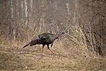 Eastern wild turkey