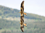Red Arrow style aerobatics between a pair of Red Kites by Kenneth O'Keefe